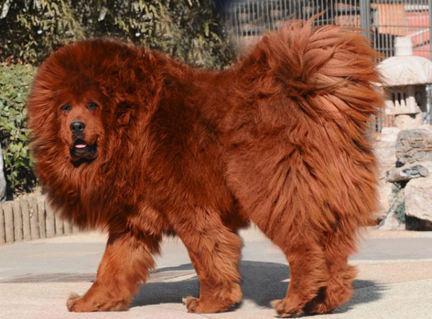 Tibetan-Mastiff_TOP-5-Most-Expensive-and-Unique-Pets-in-the-World  TOP 5: Most Expensive and Unique Pets In The World Tibetan Mastiff TOP 5 Most Expensive and Unique Pets in the World
